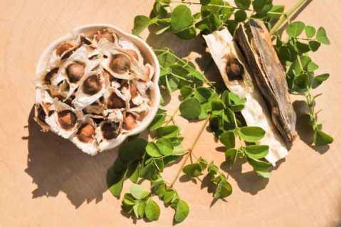 beneficial-moringa-seeds